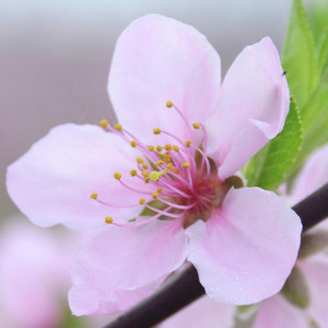 Barack_Virág